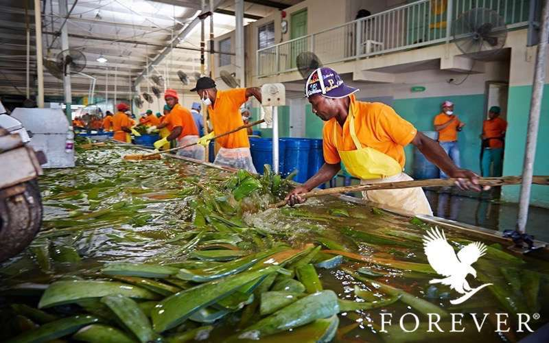 production aloe vera forever living